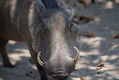 horn(0.0), mustang horse(0.0), animal(1.0), mammal(1.0), head(1.0), fauna(1.0), close-up(1.0), warthog(1.0), wildlife(1.0),