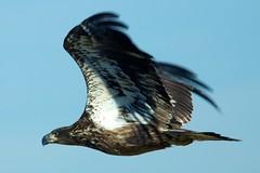 eagle 609