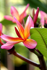 pink plumeria in chips' jungle    MG 1823
