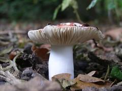 pleurotus eryngii, medicinal mushroom, agaricus, nature, mushroom, macro photography, agaricaceae, flora, fungus, matsutake, close-up, plant stem, edible mushroom,