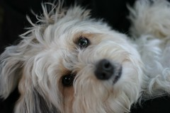 petit basset griffon vendã©en(0.0), bichon(0.0), dog breed(1.0), animal(1.0), dog(1.0), cavachon(1.0), schnoodle(1.0), pet(1.0), coton de tulear(1.0), lã¶wchen(1.0), tibetan terrier(1.0), glen of imaal terrier(1.0), bolonka(1.0), poodle crossbreed(1.0), biewer terrier(1.0), havanese(1.0), lhasa apso(1.0), morkie(1.0), dandie dinmont terrier(1.0), cockapoo(1.0), west highland white terrier(1.0), maltese(1.0), cavapoo(1.0), carnivoran(1.0), terrier(1.0),