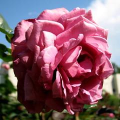 Rose Garden, Raleigh NC 6767