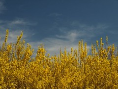 Forsythias in Sprint