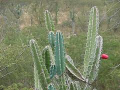 barbary fig(0.0), nopal(0.0), opuntia(0.0), flower(1.0), plant(1.0), acanthocereus tetragonus(1.0), flora(1.0), echinopsis pachanoi(1.0), plant stem(1.0), caryophyllales(1.0),