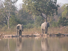 Elephants at watering hole Ghana