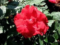 Rose Garden, Raleigh NC 6741