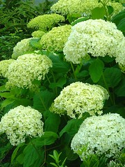 shrub, flower, guelder rose, plant, viburnum,