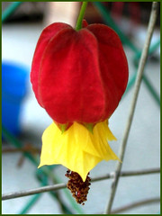 Closeup of Abutilon megapotamicum (Flowering Maple, Trailing Abutilon, Brazillian Bell-flower, Chinese Lantern), Aug 14 2006