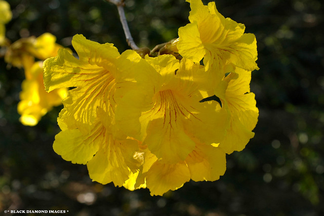Handroanthus chrysotrichus (Tabebuia chrysotricha) - Yellow Trumpet Tree