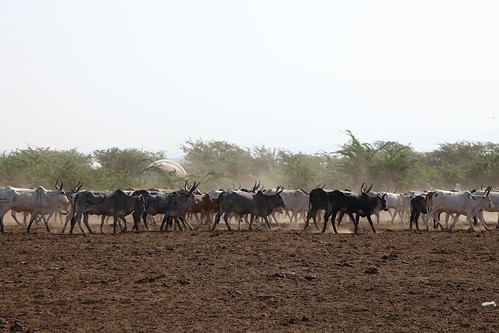 To the grazing field, Afar, Ethiopia
