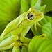 Amazon Common Polkadot Treefrog