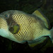 Titan Triggerfish - Photo (c) Brian Gratwicke, some rights reserved (CC BY)