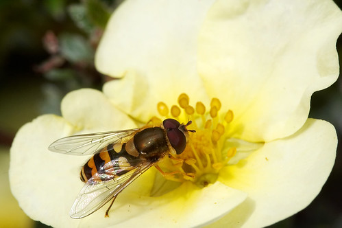 Natural light series#22 Hoverfly #10 Syrphid feeding