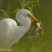 Great Egret with Frog - 2 by vanessa hilliard