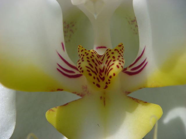 Orchid, Bogor Botanical Gardens.
