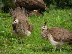 lark(0.0), animal(1.0), fauna(1.0), ruffed grouse(1.0), bird(1.0), wildlife(1.0),