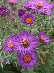 SYMPHYOTRICHUM novae-angliae 'Violetta'