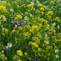 hesperis matronalis(0.0), annual plant(1.0), prairie(1.0), flower(1.0), field(1.0), mustard plant(1.0), brassica rapa(1.0), plant(1.0), mustard(1.0), subshrub(1.0), herb(1.0), wildflower(1.0), rapeseed(1.0),