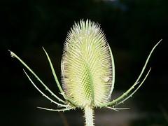 Cardère (Dipsacus fullonum) - Photo of Chomelix
