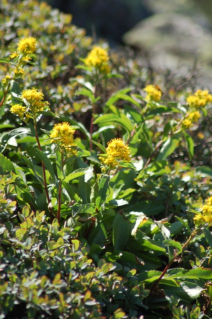 Header of Alpine Goldenrod