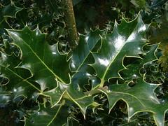 deciduous(0.0), shrub(0.0), flower(0.0), produce(0.0), maple leaf(0.0), aquifoliales(0.0), autumn(0.0), branch(1.0), leaf(1.0), green(1.0), holly(1.0),