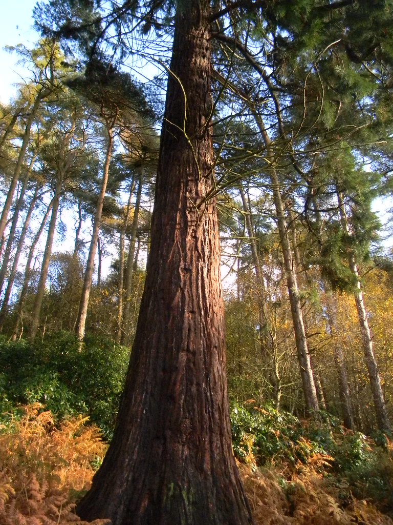 Among the Hertfordshire redwoods... Sequoia in Back Wood near Bow Brickhill. Bow Brickhill to Leighton Buzzard