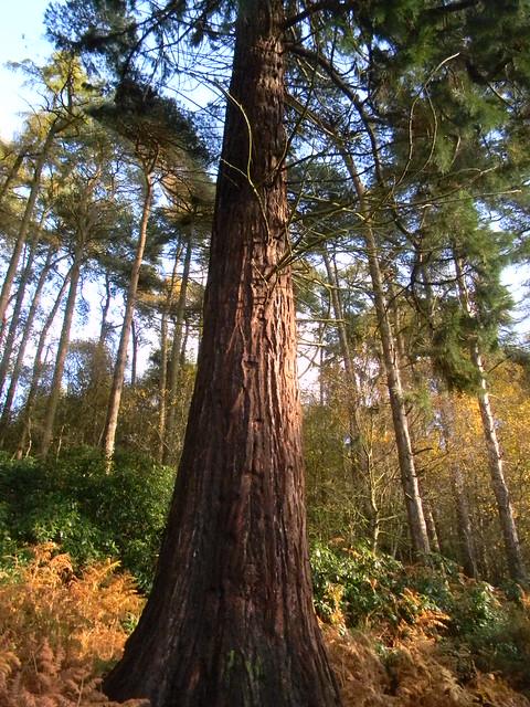 Among the Hertfordshire redwoods...