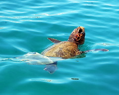 The endangered loggerhead turtles which can be seen swimming freely in the waters around Laganas