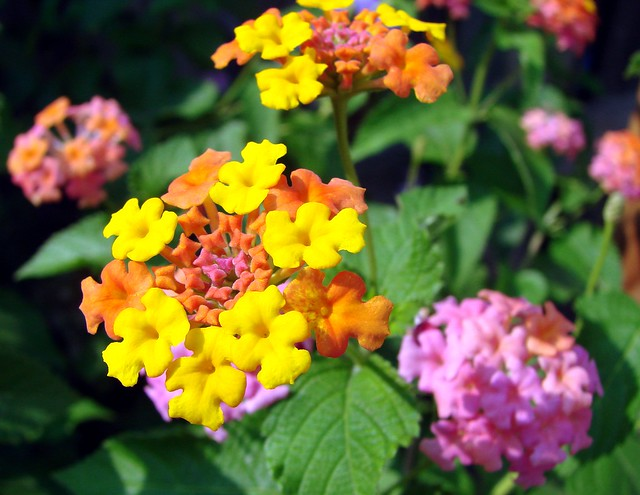 Multi colored lantana flower flickr photo sharing for How to make multi colored flowers