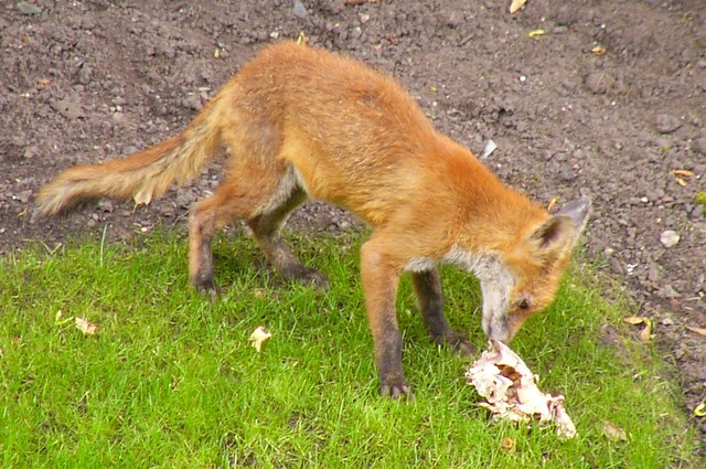 Fox eating fox eating a chicken carcass i think by for Qu est ce que mange une poule