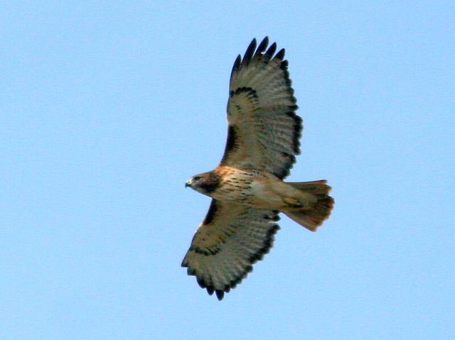 Red-tailed Hawk 20101029