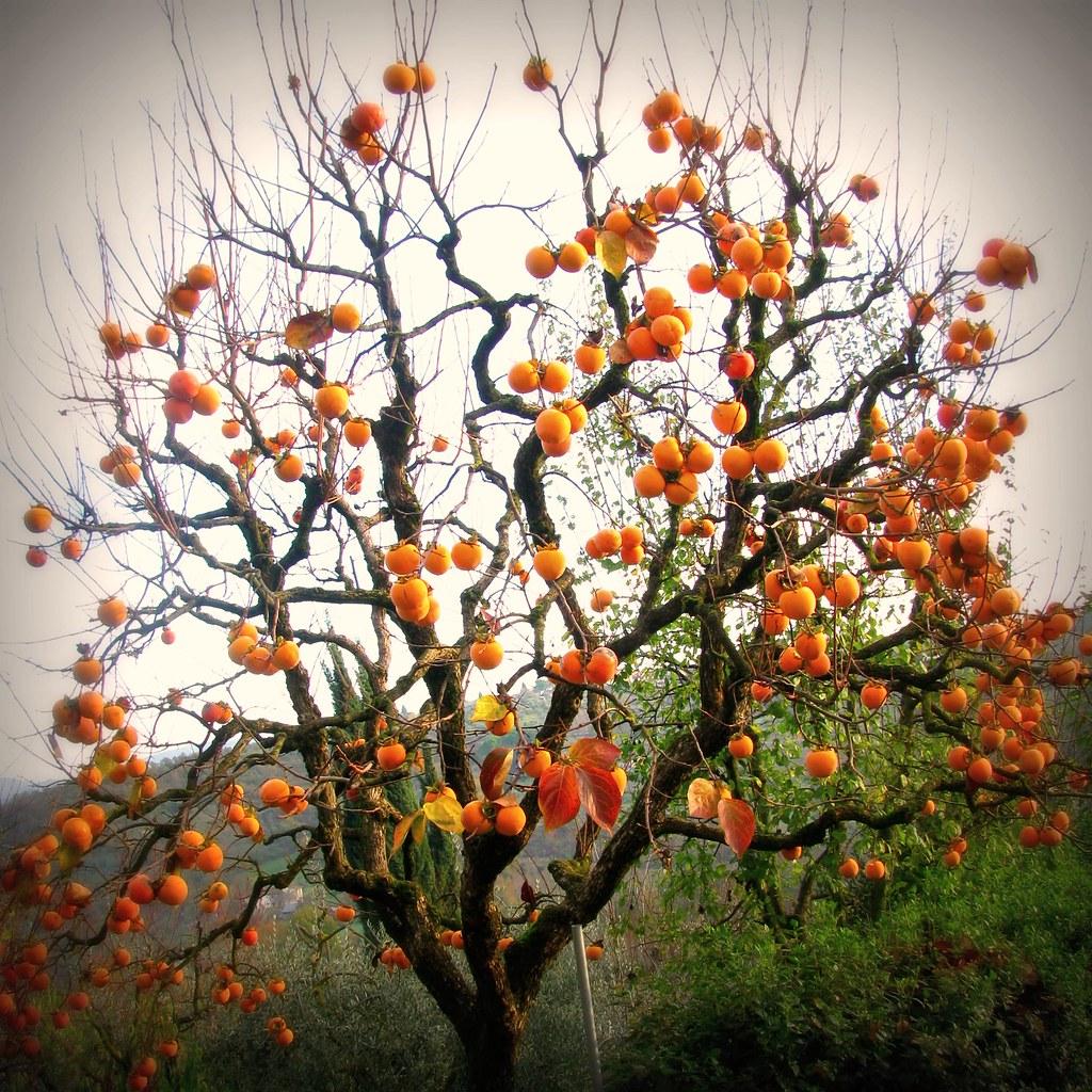 Diospero persimmon tree a photo on flickriver for Cachi persimon