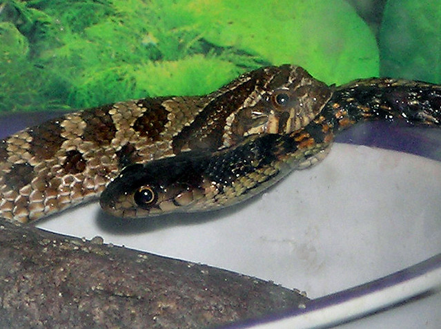 Snake Eating Snake Flickr Photo Sharing