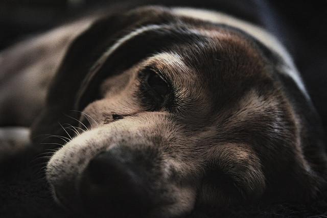 Bingo The Beagle