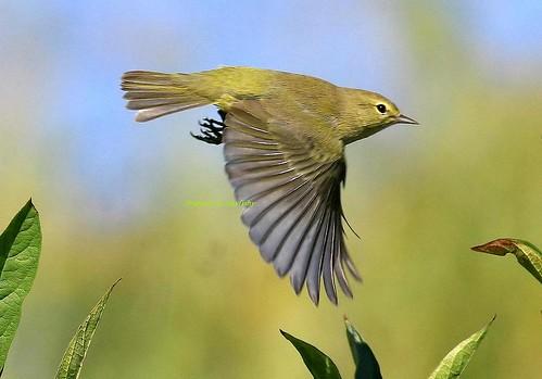 Nightingale Nightingale Bird Flying