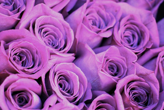 Purple roses flickr photo sharing for Purple rose pictures