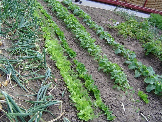 Neat rows on the allotment
