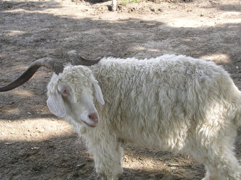 Goat 2 Stonegate circular