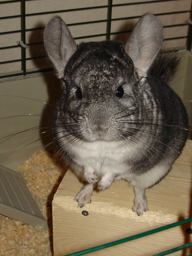 Chinchilla-zilla