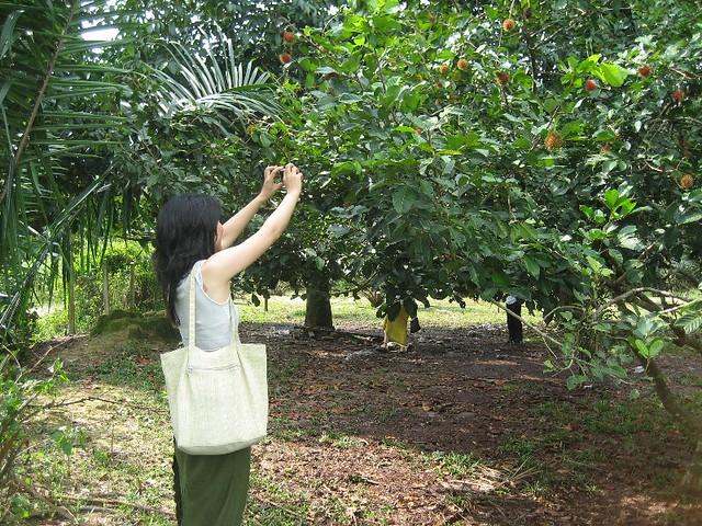 rambutan tree | Flickr - Photo Sharing! Zz