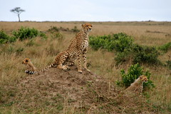 animal, prairie, cheetah, leopard, small to medium-sized cats, plain, mammal, fauna, savanna, grassland, safari, wildlife,