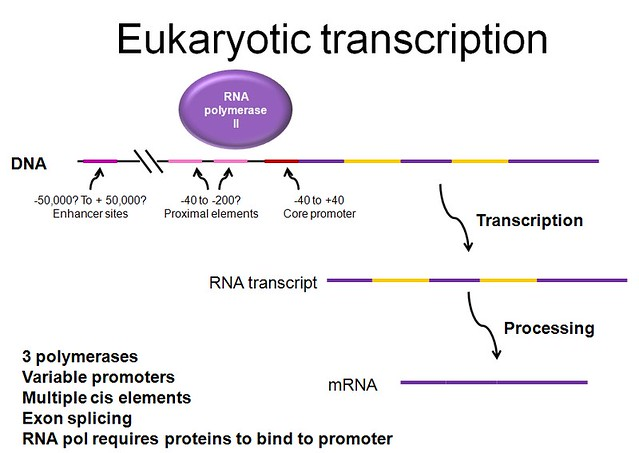 Eukaryotic Transcription And Translation Eukaryotic Transcription