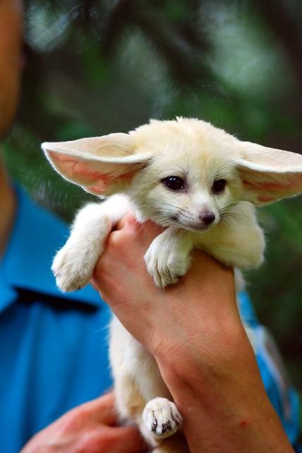 Baby Fennec Fox Flickr Photo Sharing