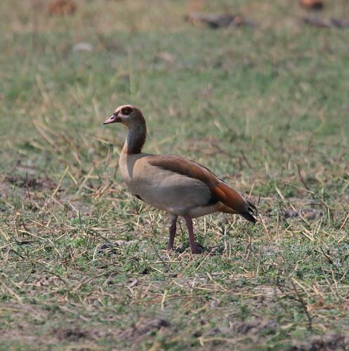 Egyptian Goose 1 (Alopochen aegyptiaca)