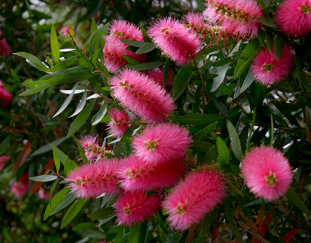 Callistemon salignus pink 031012-0041