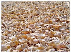 coral(0.0), sand(0.0), food(0.0), pebble(0.0), conch(0.0), petal(0.0), invertebrate(1.0), seashell(1.0), close-up(1.0), cockle(1.0),