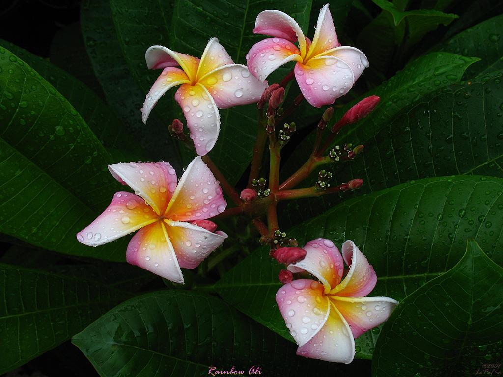 On Black Hawaiian Flowers The Plumeria Rainbow Ali By Mad
