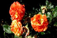 Rose Garden, Raleigh NC 6744