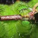 Small photo of Indian moon moth (Actias selene) caterpillar