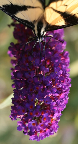 Butterfly Bush with a Swallowtail